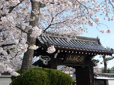 満願寺の桜の写真|京都桜photo